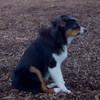 OLIVER (aussie pup) PLEASANTVILLE) 4