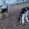 OLIVER (aussie pup)  & MADDIE