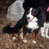 LOLA (or lulu, bernese) & OLIVER (aussie pup)2
