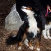 LOLA (or lulu, bernese) & OLIVER (aussie pup)