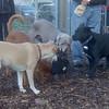 FRANCIS (minpin), Shilo, Koki, Rosie, Reilly (pleasantville)