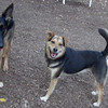 FAITH (german shepherd), MADDIE (indiana stockdog)