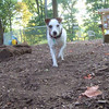 JESSE (Jack Russell Terrier)