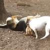 LEXIE  (rat terrier)  MADDIE (indiana stockdog) PLAYMATES