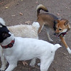 FOXI (shiba Inu), MICKEY (schnoodle pup), LEXIE (rat terrier girl)