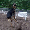 FAITH (german shepherd) ball leap
