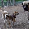FOXI (shiba inu 1yr.),  Rocky (English Mastiff Pup)