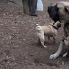 FOXI (1yr.) & ROCKY (English Mastiff Pup)