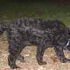 MILLIE (portuguese water dog)