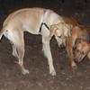EBBERSTON (ridgeback pup) & Yellow Lab