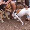 MADDIE (indiana stockdog), BOBBIE JOE (jack russell)