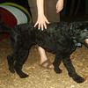 DORA (Portuguese water dog)