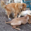 EBBERSTON (ridgeback pup),  ROCKY (puggle), ZIM (older, recent rescue boy)