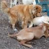 ZIM (recent rescue), ROCKY (puggle), EBBERSTON (ridgeback pup)