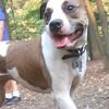 AVERY (pitbull mix, sweet dog)