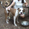 AVERY (pitbull mix), MADDIE (indiana stockdog)