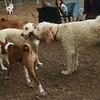 BAILEY (labradoodle),  BARNI (yellow lab girl) (kiss)