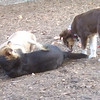BAXTER (australian shepherd, pup), MADDIE, lUCY