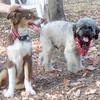 BAXTER (australian shepherd pup) & KOBE (HOUSEMATES)
