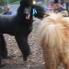 OLIVER ( black natty poodle), MIA (tail)