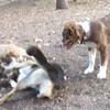 BAXTER (australian Shepherd, 4 months), MADDIE, LUCY