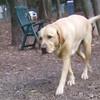 HARLEY (yellow lab, boy)