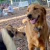 BUSTER  (golden retriever) & MADDIE (indiana stockdog)