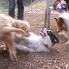 WALLY (goldendoodle pup), MARLEY  (australian shepherd mix pup), AMBER  (shetland sheepdog, sheltie)
