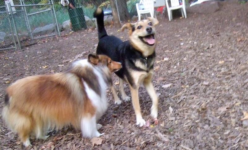 AMBER (sheltie), MADDIE (Indiana stockdog)
