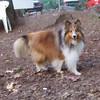 AMBER (shetland sheepdog  sheltie)