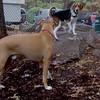 HENRI (beagle),  MONTY  (island dog)