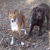 SHAMUS (basenji), HENNA (chocolate lab)