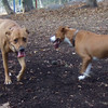 EDNA (boxer,  pitbull mix), DUTCH (ridgeback mix)