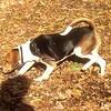 HENRI (beagle)