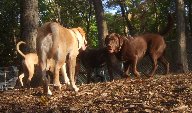 HENNA (chocolate lab), BUTCH (yellow lab, of butch & jack)