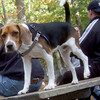 HENRI (a beagle)