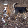 EDNA (pittbull boxer mix),  MADDIE  (indiana stockdog)