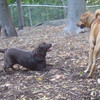 HENNA (chocolate lab), DUTCH (ridgeback mix), BUFFY (ridgeback mix)
