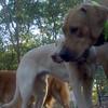 DUKE (yellow lab pup), COOPER (ridgeback), IZZY