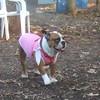 THUMBELINA (bulldog)
