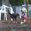 THUMBELINA (bulldog), PENNY (peagle)