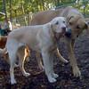 DUKE (yellow lab pup), COOPER (ridgeback)