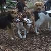 PHOEBE (braco italiano pup, w. stick)