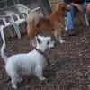 ISABELLA (west highland terrier)