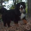 MAX (4.5 yrs,  bernese mountain dog)