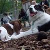 MARLEY (australian shepherd mix, boy pup)