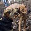 BUFFY (ridgeback mix), MADDIE (indiana stockdog) PLAYMATES