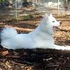 DUMBO (5 mo. boy) (american eskimo)  (10/20/07)