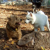DUMBO (5 mo.american eskimo), RINGO (norwich terrier, 6 yrs.)