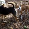 ALFIE (pitbull mix, 10 month pup), MADDIE (indiana stockdog)  (10/20/07)